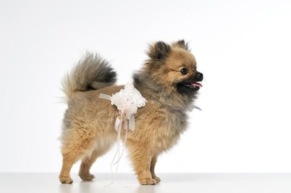 Hund mit Ringkissen - Ringkissen für den Hund zur Hochzeit