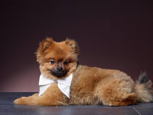 Hund mit Schleife, Hochzeitsschmuck für den Hund