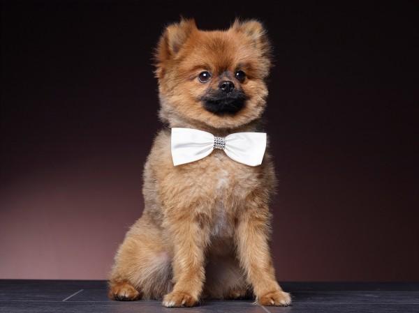Hund mit Schleife aus Seide mit Swarovski Elementen - Hochzeitsschmuck für den Hund